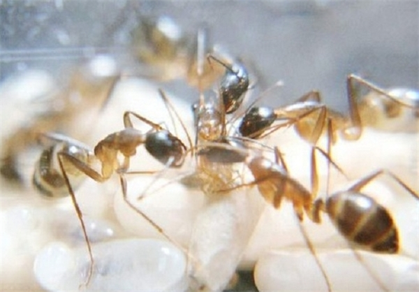 www.ebhamlinks.com   عکسهایی از لحظه به دنیا آمدن مورچه ها