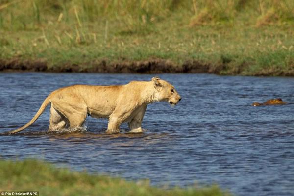 تصاویر جالب از نبرد شیر و تمساح