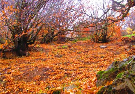 پاییز در جنگل ابر،جلوه ای زیبا از طبیعت