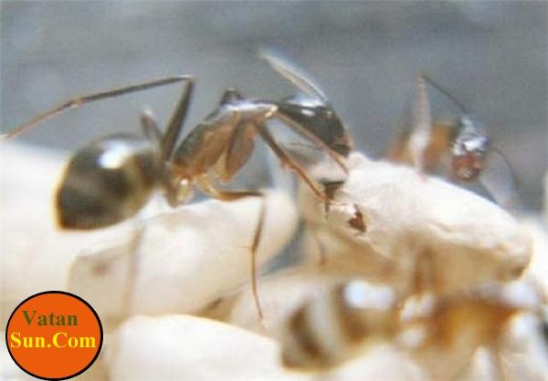 گزارش تصویری از لحظه به لحظه دنیا آمدن مورچه ها
