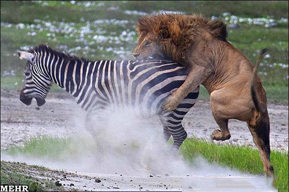 تصاویر دیدنی از شکارهای عجیب شیر