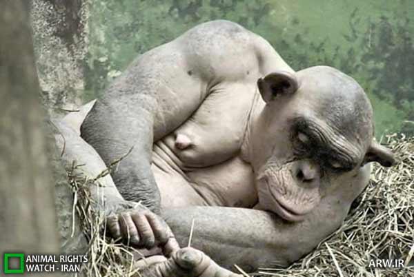 «آشز» شامپانزهای که مو ندارد