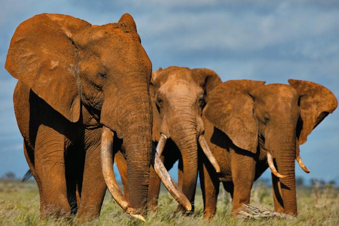 کشتن وحشیانه فیل برای عاج