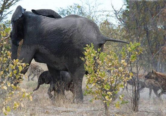 تصاویر دفاع جانانه فیل مادر از بچه اش