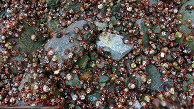 عکس های تجمع صدها هزار خرچنگ برای تولید مثل