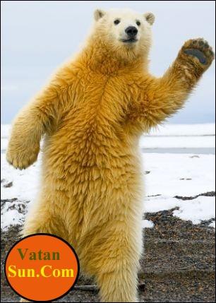 تصاویر رقاصی خرس قطبی