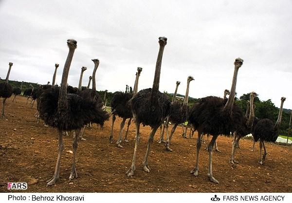 پرورش شتر مرغ در مازندران