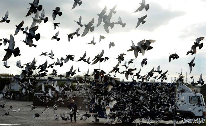 گروه تلگرامی کبوتر های مسافتی مسابـقه کبـــوتر بــازی در انـگلستـان ۲۰۱۲ - جديدترين ...