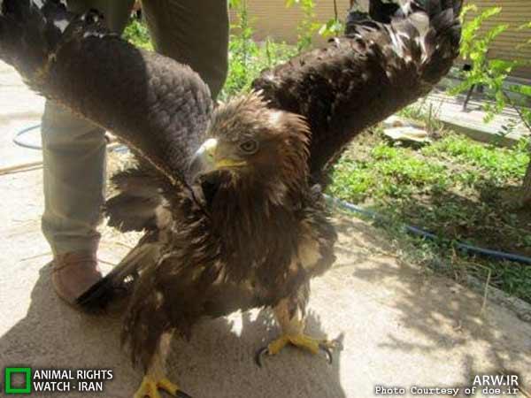 نجات عقاب طلایی