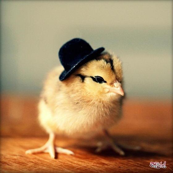 جوجه های بانمک با کلاه