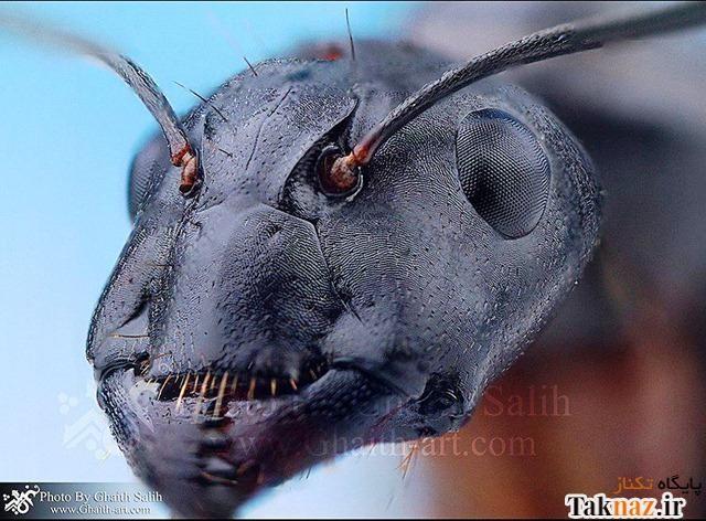 مورچه ها از نمای نزدیک این شکلی هستن ! (عکس)