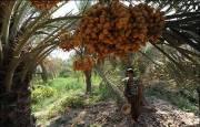 افزایش 100 درصدی تولید خرما در کرمانشاه
