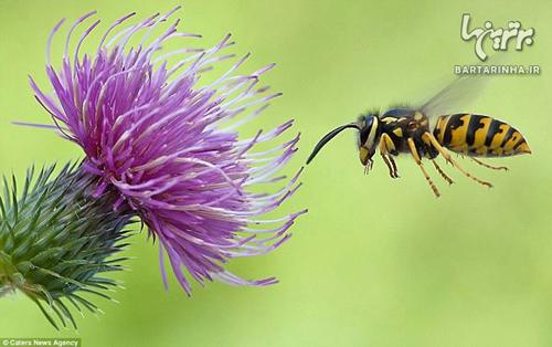 دنیای زیبای زنبورهای زرد / عکس
