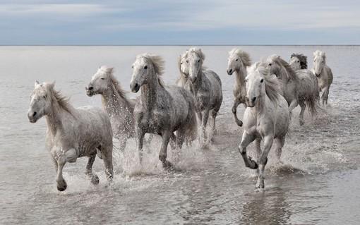 تصویری از گله اسب های وحشی در پارک طبیعی کاماراگو در فرانسه