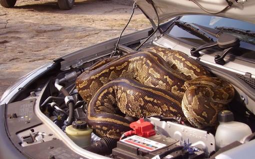 یک زن و شوهر که برای تفریح به پارک ملی کروگر آفریقای جنوبی رفته بودند در بازگشت یک پیتون عظیم الجثرا دیدند که خودروی آنها مخفی شده بود.
