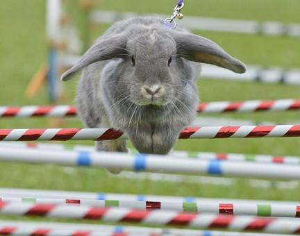 مسابقه پرش خرگوش از مانع در آلمان