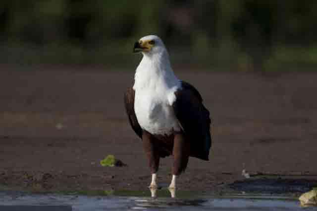شکار تمساح توسط عقاب (2)