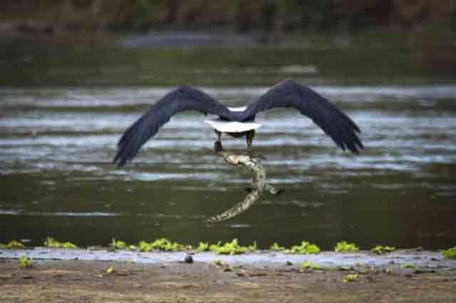 شکار تمساح توسط عقاب (3)
