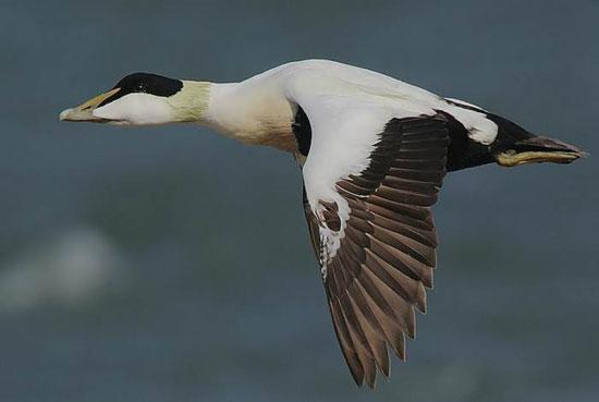 10 پرنده تیز پرواز جهان را بشناسید +عکس