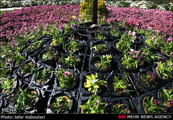 دومین جشنواره گل های داوودی