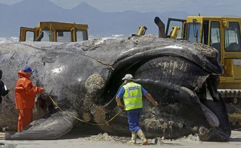 تصاویر نهنگ غول پیکر 15 متری