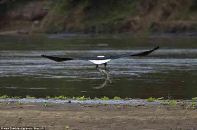 شکار تمساح توسط عقاب (4)