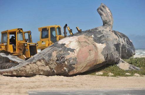 تصاویر نهنگ غول پیکر ۱۵ متری