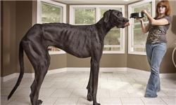 بزرگترین سگ دنیا به اندازه یک اسب