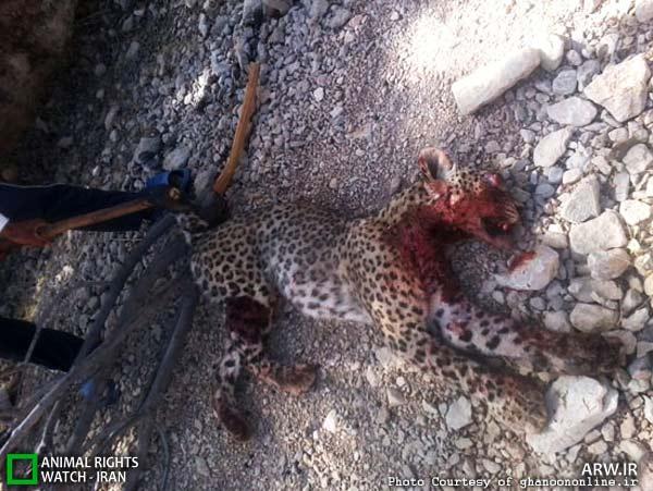 گلوله، تبر و آتش؛ سرنوشت دلخراش پلنگ ایرانی