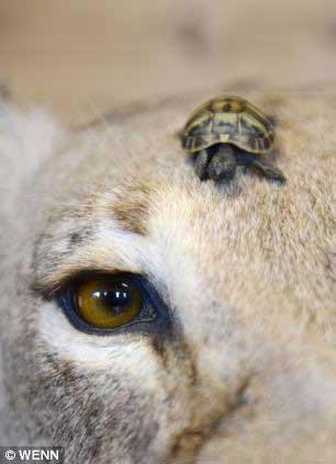 عکس های کوچک ترین لاک پشت دنیا