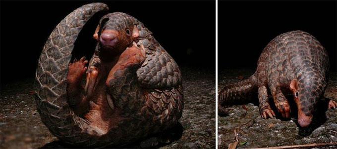 پانگولین حیوان عجیب و خارق العاده