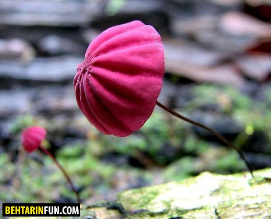 عکسهای دیدنی از قارچ های رنگارنگ که تابحال ندیده اید