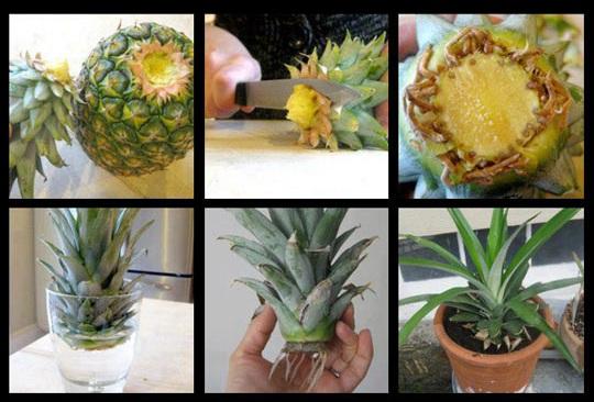 در منزل آناناس بکارید+روش کاشت