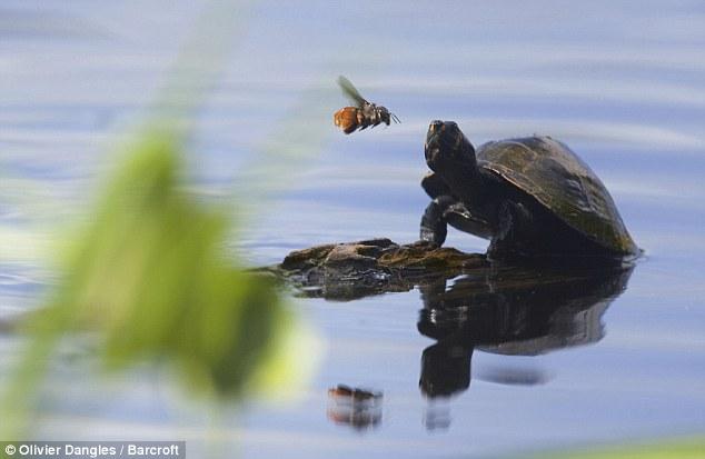 کمک باور نکردنی زنبور به یک لاکپشت+عکس