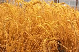 خرید ۴۱۰ هزار تن گندم مازاد بر نیاز از کشاورزان کردستانی