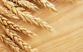 کشاورزان گندم کار تفاوت قیمت گندم تحویلی را می گیرند