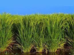 """افزایش """"تولید برنج"""" کشور تا ۲ میلیون و ۴۰۰ هزار تن"""