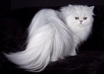 گربه ایرانی در مقام چهارم گرانترین گربه+عکس