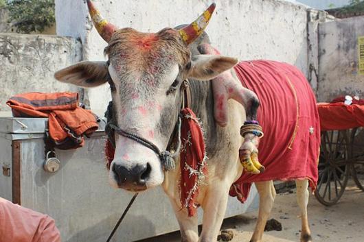 این گاو به شما پسر می دهد ! + عکس