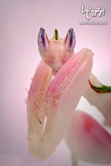 زیباترین حشره جهان را بشناسید +عکس