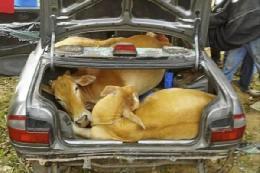 حمل گاو با خودرو سواری+تصویر