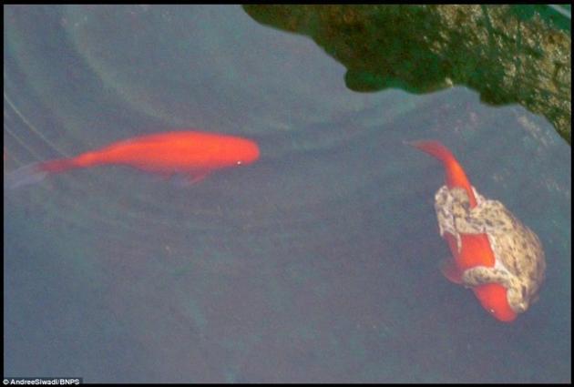 سواری گرفتن قورباغه از ماهی