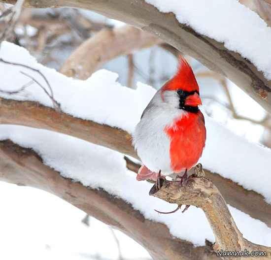 پرنده دو جنسه + تصاویر