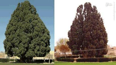 درخت 4 هزار ساله که پسر حضرت نوح(ع) در یزد کاشته است! +تصاویر