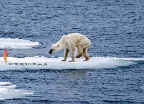 سوء تغذیه خرس قطبی ماده