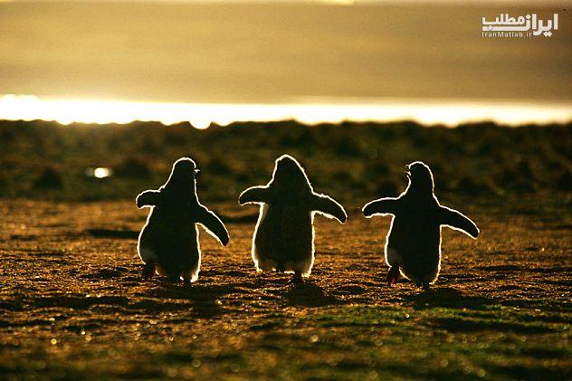 تصاویر زیبا از پنگوئن ها به افتخار (روز جهانی پنگوئن)