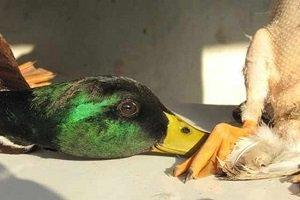 کاریکاتور تلخی از کشتار دردناک پرندگان مهاجر در شمال