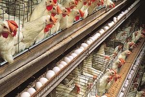 ارزانی مرغ و تخممرغ با توزیع گسترده دولتی