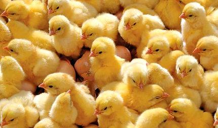 اعتراض مرغداران به افزایش هزینههای تولید و قیمت جوجه یک روزه