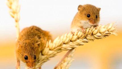 افزایش طول عمر موشها با کم کردن وعدههای غذایی